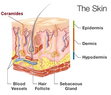what is phytoceramides